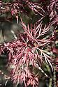 Acer palmatum 'Dissectum Red Dragon', late April.