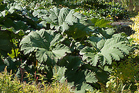 Gunnera tinctoria enormous large plant leaves