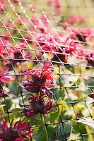 Exotic red flower blooms protrude from a wire fence in a garden.