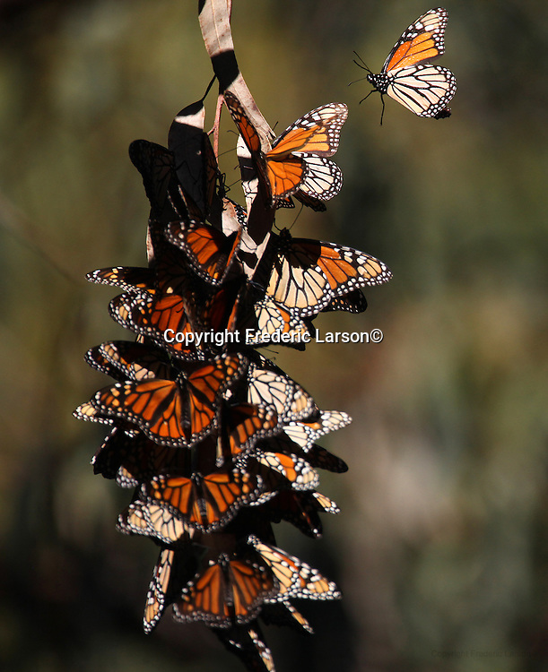 Despite thousands of Monarch butterflies seen clustering on euclyptus trees at Ardenwood Historic Farms in Fremont California, entomologist claim the population is declining.  Biologists and entomologists debate the reasons for the insects' decline, but suggest theoretical culprits include summer drought, indiscriminate use of pesticides, invasive parasites and habitat degradation. Most devastating is the loss of milkweed in the landscape. Milkweed is the host plant that monarchs must have to deposit their eggs on, and subsequently, it is only the milkweed plant that provides a food source for the newborn larvae (caterpillars)...