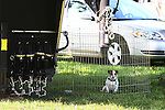 A Jack Russell Terrier sits in her cage prior to the start of a four in hand coaching event in Locust, New Jersey.