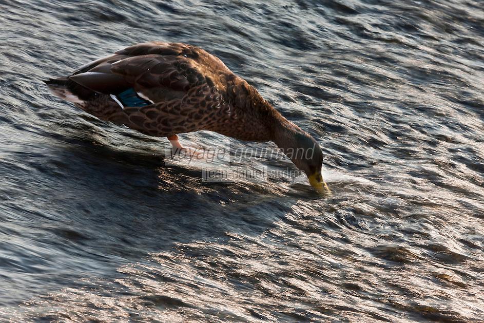 Europe/France/Aquitaine/24/Dordogne/Brantome: Canard  sur les bords de la Dronne