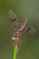Eastern Amberwings (Perithemis tenera) Dragonfly - Female, Rockefeller State Park Preserve, Potanico Hills, Westchester County, New York