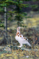 Willow ptarmigan turning from autumn to winter phase,  stands on the tundra in Denali National Park, Alaska