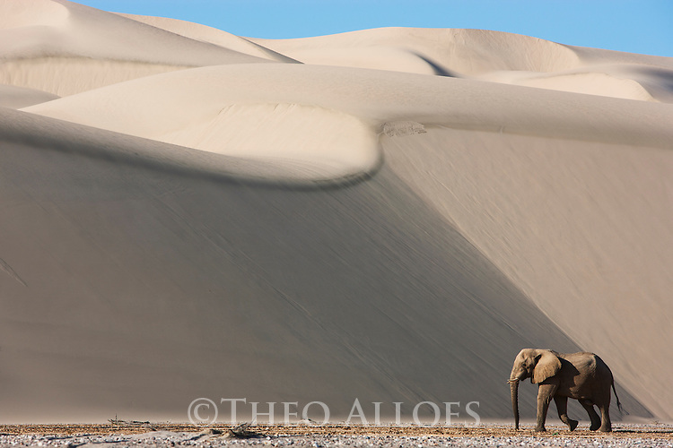 Namibia;  Namib Desert, Skeleton Coast, Hoarusib River, desert elephant (Loxodonta africana) walking in river bed in front of large sand dune