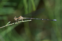 338550024 a wild female powdered dancer argia moesta  perches on a grass stem in imperial county california