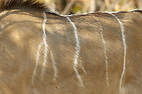 Greater kudu (tragelaphus strepsiceros).<br /> Moremi Wildlife Reserve, Botswana.<br /> September 2007.