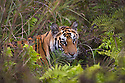 17 months old Bengal tiger cub in wet green meadow with ferns, dry season
