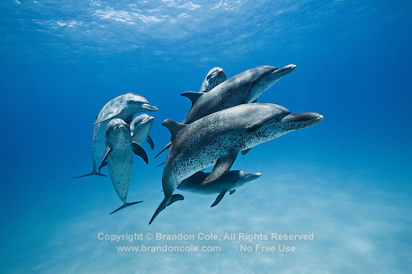 RW5007-D. Atlantic Spotted Dolphins (Stenella frontalis), resident pods of wild dolphins in the Bahamas off Bimini and Grand Bahama Island offer eco-tourists from around the world a superb encounter swimming with the playful marine mammals. Bahamas, Atlantic Ocean.<br /> Photo Copyright &copy; Brandon Cole. All rights reserved worldwide.  www.brandoncole.com