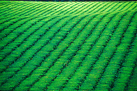 Tea plantation, Queensland, Australia