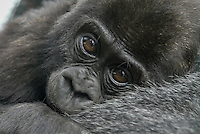 Portrait of a baby gorilla