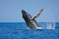 Humpback Whale calf, breaching with eyes open, Megaptera novaeangliae, Hawaii, Pacific Ocean.