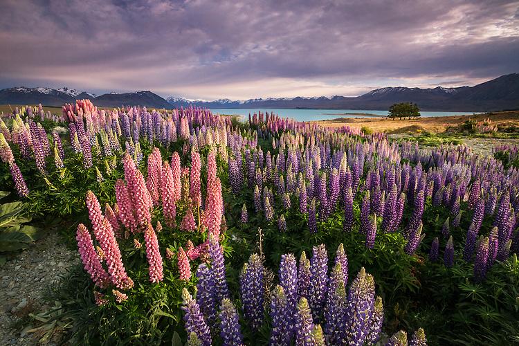 Flowering lupins at Lake Tekapo, Mackenzie Country, South Island, New Zealand - stock photo, canvas, fine art print