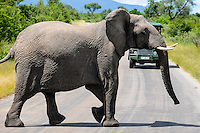 African Bush Elephant crossing the road. Kruger National Park, the largest game reserve in South Africa.