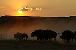 Encouraged by record-braking temperatures and drought, lightning-induced wildfires in August 2006, bison stayed on the move in the Black Hills and Nebraska's Pine Ridge.  Buffalo Gap National Grassland,  South Dakota.