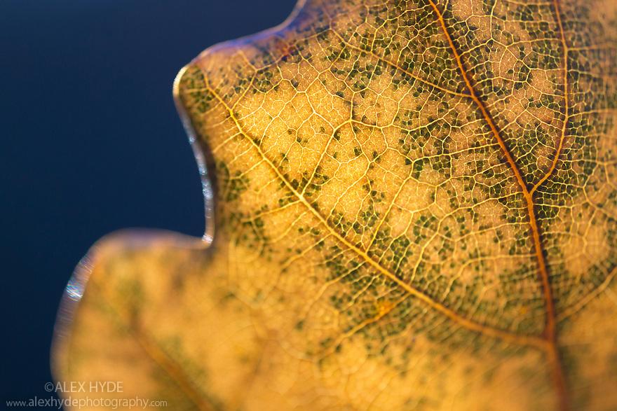 Oak leaf {Quercus sp.} backlit by late afternoon sunshine, revealing pattern of leaf veins. Peak District National Park, Derbyshire, UK.  November.