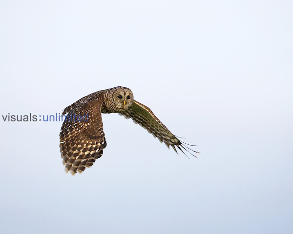 Barred Owl ,Strix varia,