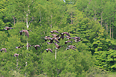 Geese in flight over a small lake, Rawdon Quebec