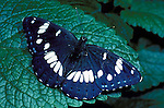 White Admiral Butterfly, Ladoga camilla, wings open, blue white.United Kingdom....