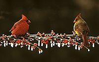 Two Northern Cardinals, Cardinal cardinalis, male and female, on icy branch with red berries in late afternoon sun