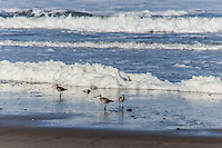 Whimbrels find breakfast on a California beach frosted with phytoplankton foam.