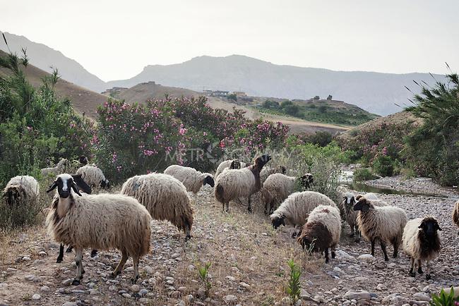 28/04/15. Awbar Village, Darbandikhan area, Iraq. -- Sheeps on the mountains that surround Awbar village.