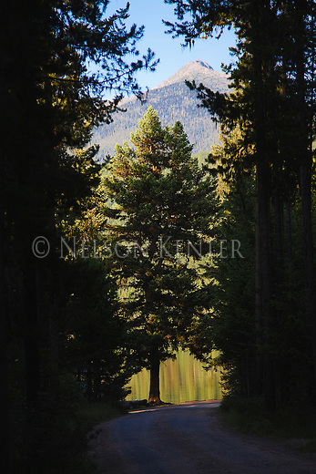 Road leading to shore of Bowman Lake with a silhouetted tree