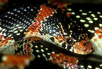 479970003 closeup or portrait of a wild texas longnose snake rhinocheilius leconti tesselatus showing head scales native to rio grande valley and much of the surrounding territory in texas