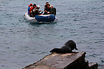 South America, Ecuador, Galapagos, South Plaza Island. Galapagos Sea lion beats zodiac to the dock!