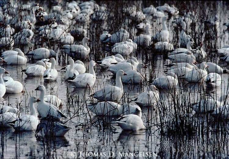 A flock of Snow Geese roost in shallow water and reeds in New Mexico.