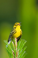 592260030 a wild male prairie warbler setophaga discolor - was dendroica discolor - sings or vocalizes to defend territory from the top of a long Leaf pine pinus palustris in hardin county texas