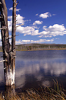 Goose Lake between Fountain Flats and Fairy Falls, Yellowstone National Park, Wyoming. So called <br /> bobby sock&quot; trees get their name from the mineral absorbed through their trunks and roots which eventually cause them to perish.