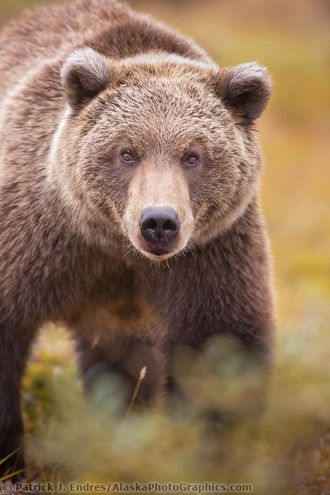 Grizzly bear portrait on the autumn tundra in Sable pass, Denali National Park, interior, Alaska.