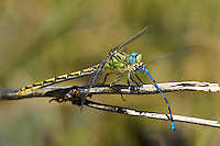389690006 a wild female great basin snaketail ophiogomphus morrisoni  feeds on a damselfly along the owens river benton crossing road mono county california