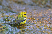 591600024 a wild blue-winged warbler vermivora cyanoptera bathes in a small stream on south padre island cameron county texas united states