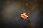 Autumn in Ireland, 2012: A single orange and red leaf floats in the water of the canal as the dappled warm Autumn Sun shines on the murkey water