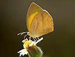 Yellow Orange Tip Butterfly, Ixias pyrene, feeding on flower, Bandhavgarh National Park, backlight, underside of wings.India....