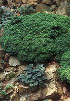 Viola riviniana Purpurea Group with Boxwood Buxus microphylla Green Gem