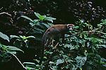 A crowned lemur climbs a tree in Madagascar.