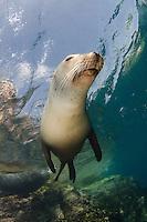 California Sea Lion, Zalophus californianus, Los Islotes, Baja, Sea of Cortez, Eastern Pacific.