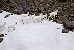 Dall sheep herd moves across glacier, Wrangell-St. Elias National Park, Alaska, USA