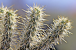 Teddy-bear Cholla