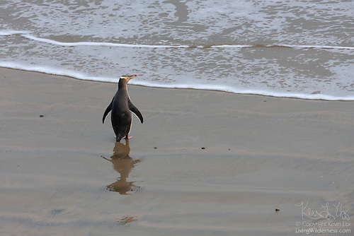 Yellow-Eyed Penguin Waiting, Nugget Point, New Zealand