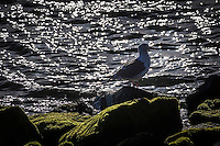 Against a sparkling water background, a gull stands in backlit silhouette on the rocky and moss covered shoreline at San Leandro Marina Park on San Francisco Bay.