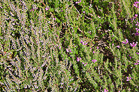 Bell heather  (Erica cinerea) at Right and Ling heather (Calluna vulgaris) at left by the River Tweed, Scottish Borders, Scotland