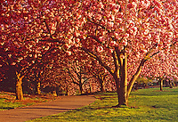Cherry Blossoms Path,  Brooklyn Botanic Garden, Brooklyn, New York