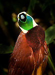 Lesser Bird of Paradise (Paradisaea minor), Bali Bird Park
