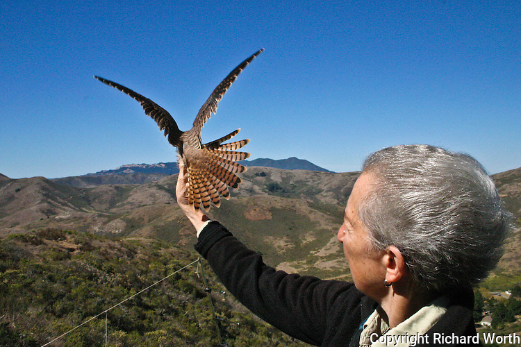 GGRO volunteer Ann Rugger holds an American Kestrel  to display its back and tail feathers.
