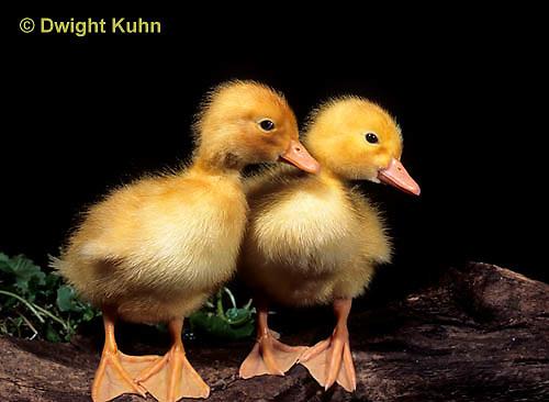 DG10-036x  Pekin Duck - four day old ducklings exploring