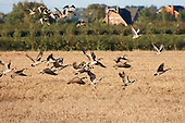 Canada Goose (Branta canadensis) Two families of geese in flight leaving a cereal field shared with some Pink footed Geese in Pilling. Originally Canada geese were introduced to Britain in St James Park, London in the mid 17th century,
